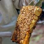 Warre bee comb on a top bar hive, The Beekeepers Digest