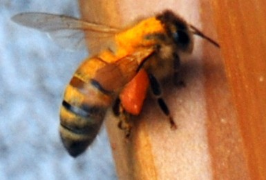Honey bees seem to love scotch broom. Beekeepers see this annually in the pacific northwest.