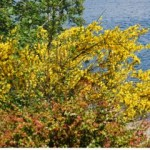 Scotch Broom a plant that flowers in May and covers honey bees to look like Cheetos