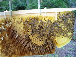 Honey comb, Warre beehive, Langstroth bee hives