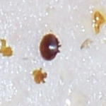 Varroa Mites infect beehives