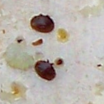 varroa mites infest beehives