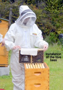 Bees going into their new beehive