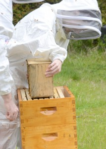 installing a package of bees into hive